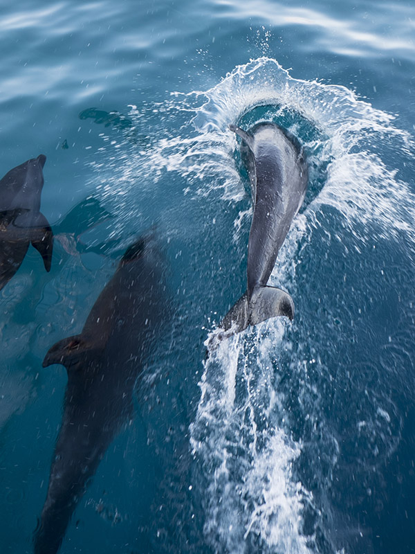 Cottage Retreats in Pembrokeshire Bottlenose Dolphins
