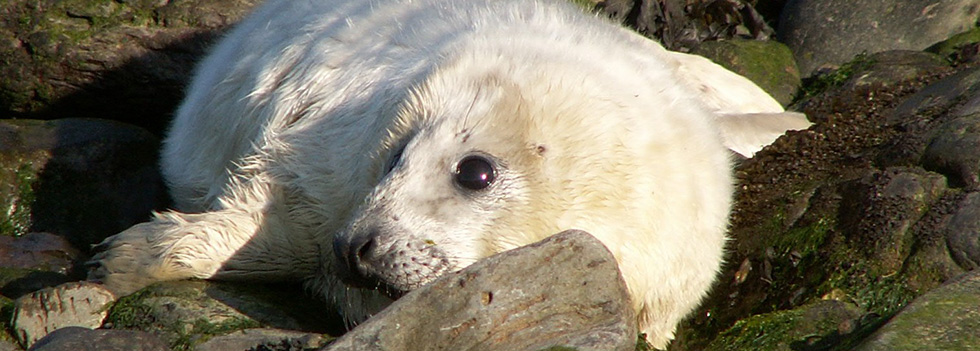 Wildlife Seal Pup