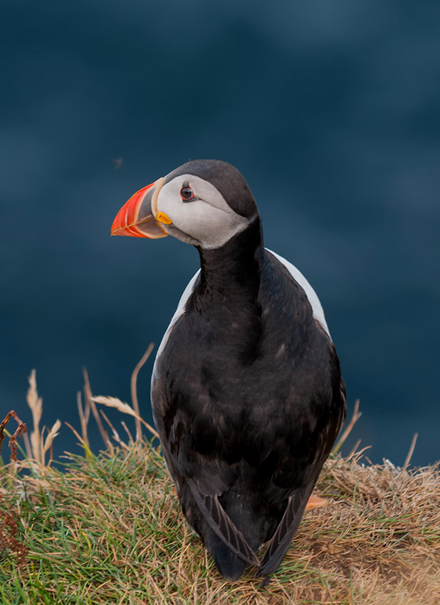 Wildlife Puffin