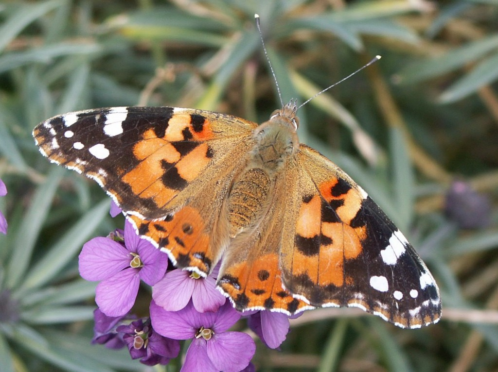 Wildlife Painted Lady