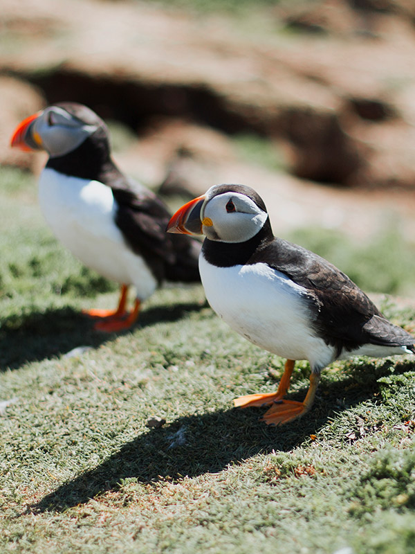 Cottage Retreats in Pembrokeshire Puffins