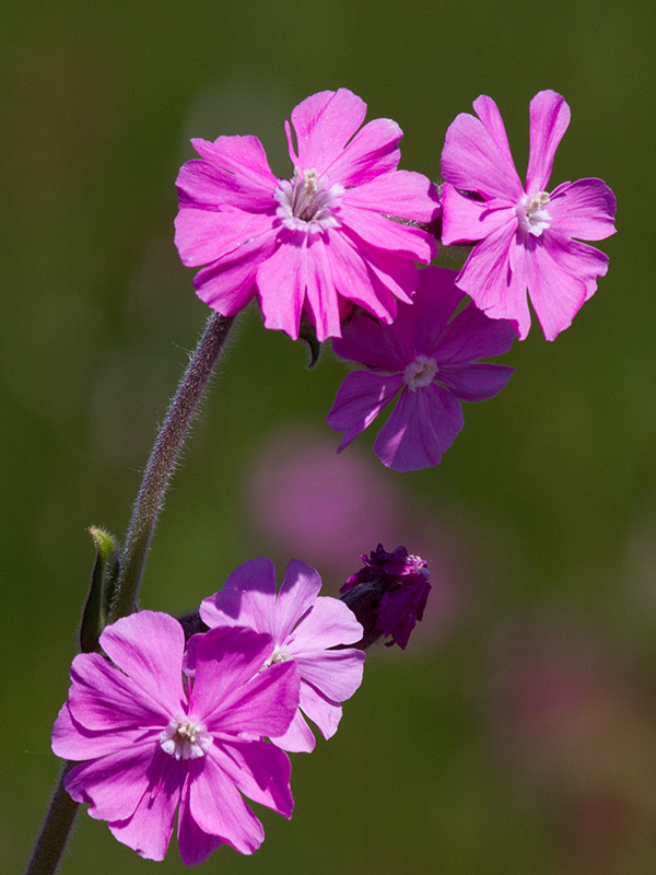 Cottage Retreats in Pembrokeshire Red Campion