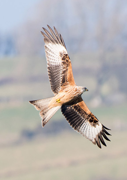 Wildlife Red Kite