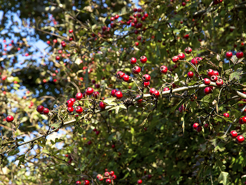 Granston House red berries
